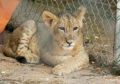 Lion Cub. © Jennifer Knowles