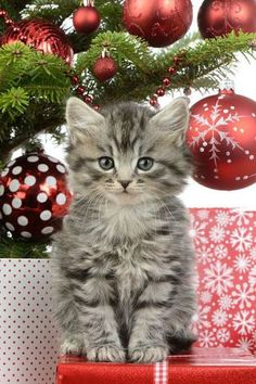 Christmas Kitten (Image via fineartamerica, photo by Greg Cuddiford)