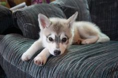 """mini husky"" I WANT ONE :)..for Carly and Roman"