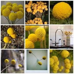 "I love these flowers! I have seen them called ""billy balls"" and ""billy buttons"". I think I prefer billy buttons :)"