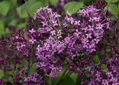 Proven Winners®Color Choice®Bloomerang® Dark Purple Lilac - Syringa x Can Lilac Tree, Purple Lilac, Dark Purple, Purple Flowers, Summer Flowers, Spring Flowers, Evergreen Shrubs, Flowering Shrubs, Trees And Shrubs