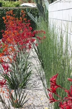horse tail & aginozantha (kangaroo paw): good combination. Hmm, I would never plant horse tail but chondropetalum sure.