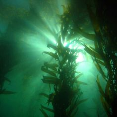 Kelp Forest off La Jolla on Instagram @scubadivergirls