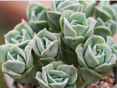 x Graptoveria 'Lovely Rose' is an attractive, small succulent plant with tightly compacted, plump, gray-green leaves that form a beautiful. Types Of Succulents, Colorful Succulents, Cacti And Succulents, Planting Succulents, Planting Flowers, Gardening Magazines, Gardening Books, Gardening Tips, Water Plants