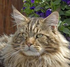 Maine Coon Natchez