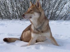 saarloos Wolfdog Hybrid, Animals And Pets, Cute Animals, Funny Cute, Dog Pictures, Fur Babies, Dog Breeds, Dogs And Puppies, Husky