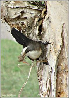 Bird gathering nesting material Nests, Bird Houses, Photos, Animals, Pictures, Animales, Animaux, Birdhouses, Nesting Boxes