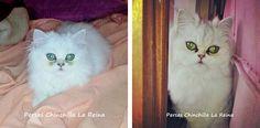 Hembras - Persas Chinchilla, Golden y Silver La Reina