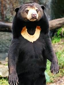 The Sun Bear is a bear found primarily in the tropical rainforests of Southeast Asia. The Sun Bear stands approximately m ft) in length, making it the smallest member in the bear family. Unusual Animals, Rare Animals, Wild Animals, Beautiful Creatures, Animals Beautiful, Malayan Sun Bear, Urso Bear, The Bear Family, Cute Bear