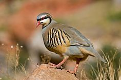 The Chukar Partridge (Alectoris chukar) is a rotund long partridge, with a light brown back, grey breast, and buff belly and is found along the inner ranges of the Western Himalayas. Other common names of this bird include Chukker (sometimes spelled as 'Chuker' or 'Chukor'), Indian Chukar and Keklik.