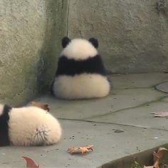Cuties Panda of all. Tag a friend who like panda als Baby Animals Super Cute, Cute Little Animals, Cute Funny Animals, Panda Bebe, Cute Panda, Baby Panda Bears, Baby Pandas, Red Pandas, Baby Penguins
