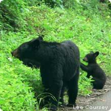 Black bear mom and cubs