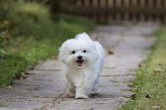 Non shedding dogs are also referred to as hypoallergenic dog breeds. They are ideal for allergy sufferers and owners who don't want to battle shedding. Bear Dog Breed, Teddy Bear Dog, Maltese Puppies For Sale, Maltese Dogs, Cute Dogs Breeds, Dog Breeds, Cake Dog, Best Hypoallergenic Dogs, Perro Shih Tzu