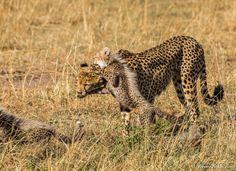 cheetahs 11