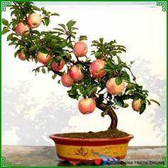 1000 Images About Bonsai Fruit On Pinterest Bonsai