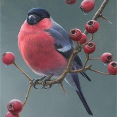 Bullfinch Illustration, Birds and Wildlife images © Andrew Hutchinson