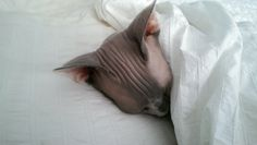 Spencer the Sphynx: sometimes thinks she's human