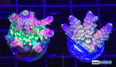 The Homewrecker Tenuis In Perfect Coloration Is Jawdropping Featured Reef Builders Saltwater Aquarium Setup, Coral Reef Aquarium, Saltwater Fish Tanks, Marine Aquarium, Aquarium Ideas, Coral Reefs, Marine Fish Tanks, Marine Tank, Nano Reef Tank