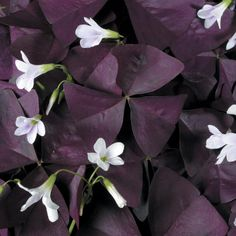 The perfect plant for the gothic gardener. Purple leaf oxalis.