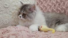 London - Persian Kitten for sale