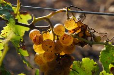 Vignammare, Nino Barraco | Flickr - Photo Sharing! #westsicilywine