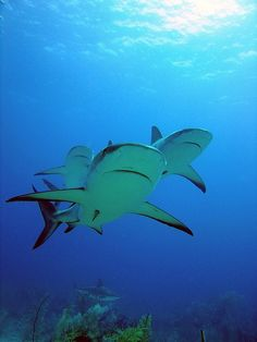 Swimming with the Sharks! Caribbean Reef Sharks. Playa del Carmen-Under Water Photography