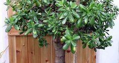 Crassula ovata in vaso. Cactus, Crassula Ovata, Feng Shui, Indoor Plants, House Plants, Gardening Tips, Outdoor Structures, Costa, Weight Loss Tips