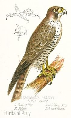 Peregrine Falcon Drawing    This full-color vintage bird image is of a peregrine falcon. This large bird of prey is featured perched on a branch along with scientific drawings of his head and feet.