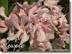 Kewpie - Nerium oleander rosa einfach - www.oleandershop.de - Oleanderhof