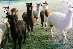 I would love to have one of these Alpacas