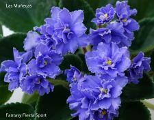 Saintpaulias-Violetas de la A a la M