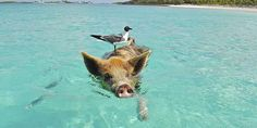 The Swimming Pigs are located on Major Cay island of Exuma, Bahamas. There are several companies that provide tours to The Swimming Pigs by boat Pig Island, Island Life, Phuket, Pig Beach Bahamas, Exuma Bahamas, Nassau, Swimming Pigs, Swimming Nature, Teacup Pigs