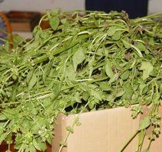 bazsalikom télire… Parsley, Herbs, Plants, Herb, Plant, Planets, Medicinal Plants