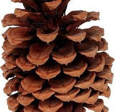 Cleaning pine cones for crafting (have some of these for the wedding!)