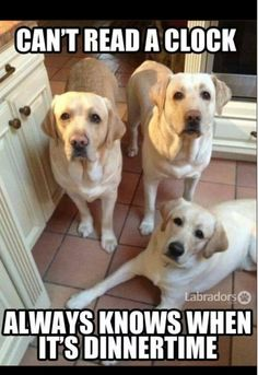 These Labrador pictures are too true. Only Labrador owners will probably understand them! Cute Puppies, Cute Dogs, Dogs And Puppies, Doggies, Animals And Pets, Funny Animals, Cute Animals, Pet Sitter, Dog Rules