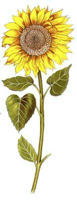 Operagastro > Ricette coi fiori: Minestra di girasole.