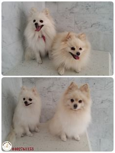 Tinny + Pia = a sweet couple  🐶 🐶 🐾 🐾 6 weeks ago these fluffy ones first came to Ratty to Regal for their grooming session. Yesterday they were both back. Tinny asked for Tidy Up Service + De-shedding and Pia came for Bath, Blow Dry and De-shedding. Website: https://rattytoregal.wixsite.com/rattytoregal Facebook: https://www.facebook.com/rattytoregal/