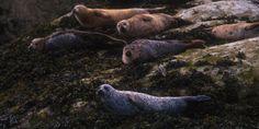 Seals basking on the edge of Loch Dunvegan, Isle of Skye Scottish Animals, Scottish Highlands, Seals, Scotland, Wildlife, Holiday, Adventure, Pretty, Vacations