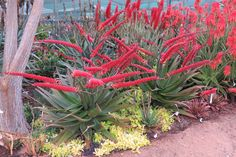 Aloe Red Horizon is unique in many ways. The shape and colour of the abundant racemes render it a must for all plant collectors. It is an aloe that is ideal to be planted singularly or in mass plantings. It has a medium growth rate, is seated on the ground and develops a short stem with age. It is less resistant to extreme cold.