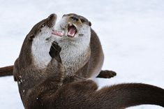 Otters in Marriage Counseling ;)