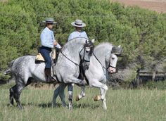 Caballos andaluces / Andalusian horse.
