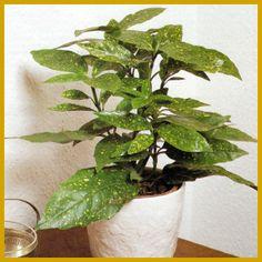 Zimmerpflanzen k belpflanzen on pinterest - Schattige zimmerpflanzen ...