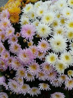 Un petit délire de chrysanthèmes à petites fleurs http://www.pariscotejardin.fr/2013/11/un-petit-delire-de-chrysanthemes-a-petites-fleurs/