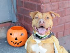 Brooklyn Center JACKSON – A1093233 NEUTERED MALE, BROWN, AM PIT BULL TER MIX, 1 yr STRAY – STRAY WAIT, NO HOLD Reason STRAY Intake condition EXAM REQ Intake Date 10/12/2016, From NY 11234, DueOut Date 10/15/2016
