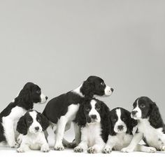 Springer Spaniel Puppies - by Sharon Montrose