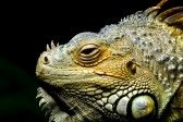 Green Iguana Resting In A Display In Amadeus Zoo. Royalty Free Stock Photo, Pictures, Images And Stock Photography. Image 14956258.