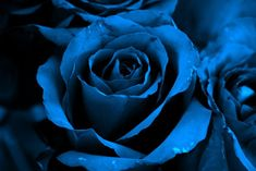 The blue rose is a symbol of hope. They are bred by hybridization from white roses.