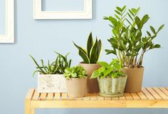 5 Indoor plants you can't kill-Aloe, Jade, Philodendron, Snake Plant, ZZ Plant