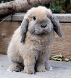 Little Holland Lop Bunny 1 Super Cute Animals, Cute Little Animals, Cute Baby Bunnies, Cute Babies, Mini Lop Bunnies, Animals And Pets, Funny Animals, Holland Lop Bunnies, Lop Eared Bunny