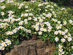 Planting Shrubs, Planting Roses, Garden Shrubs, Fall Planting, Dry Garden, Drought Resistant Plants, Plant Breeding, Mediterranean Plants, Gardens